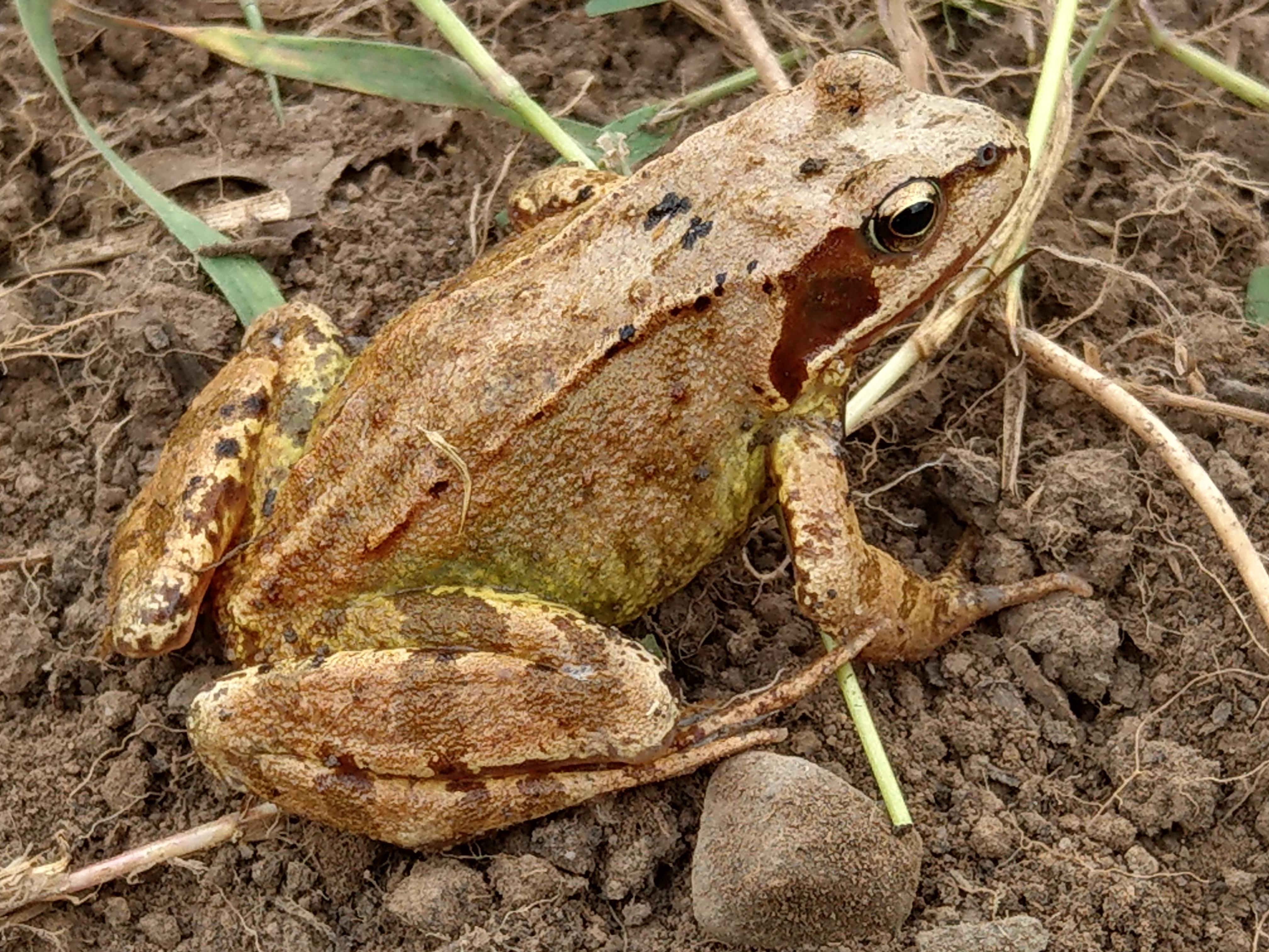 Frog - big