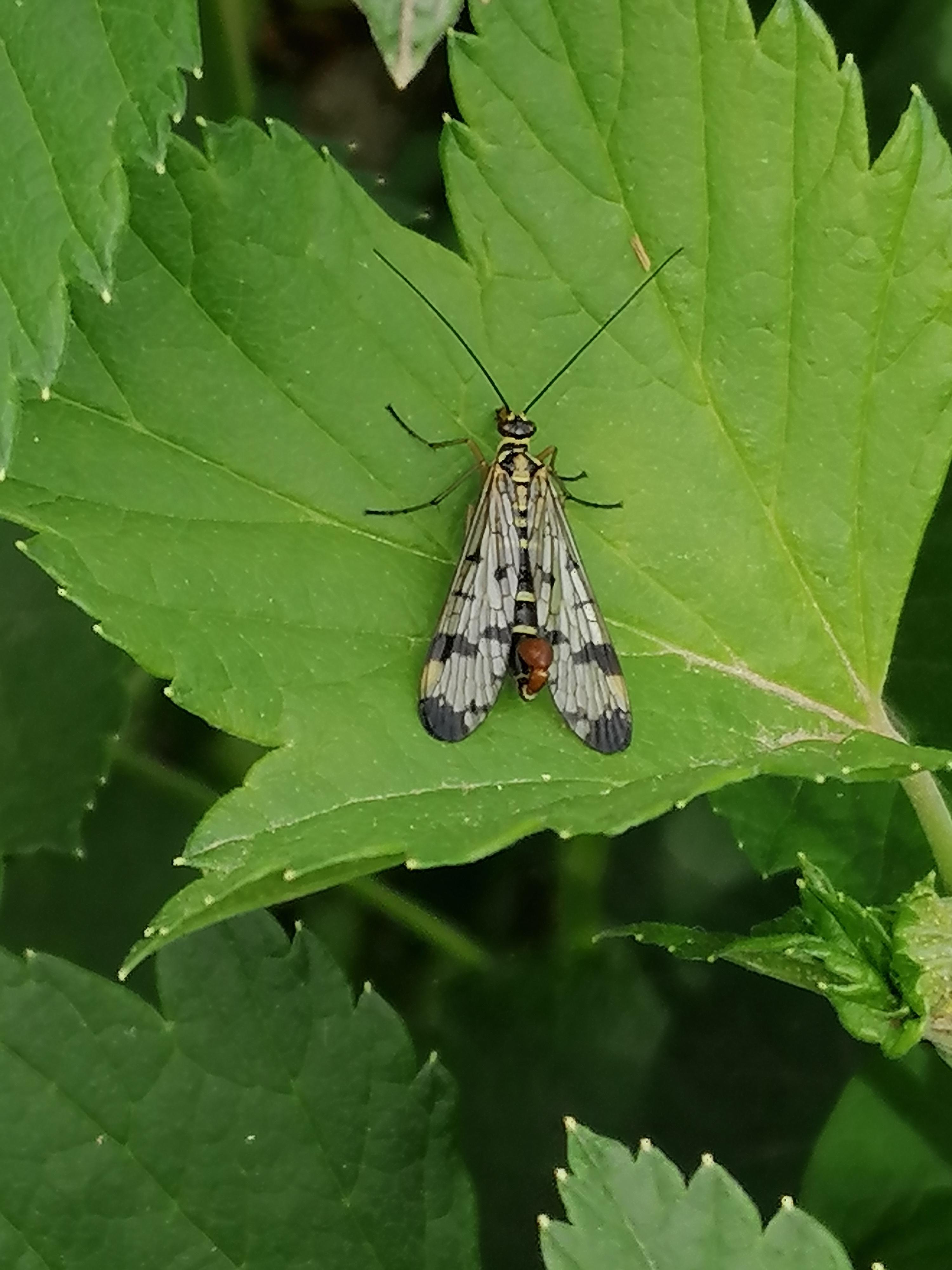 Male scorpion fly 2
