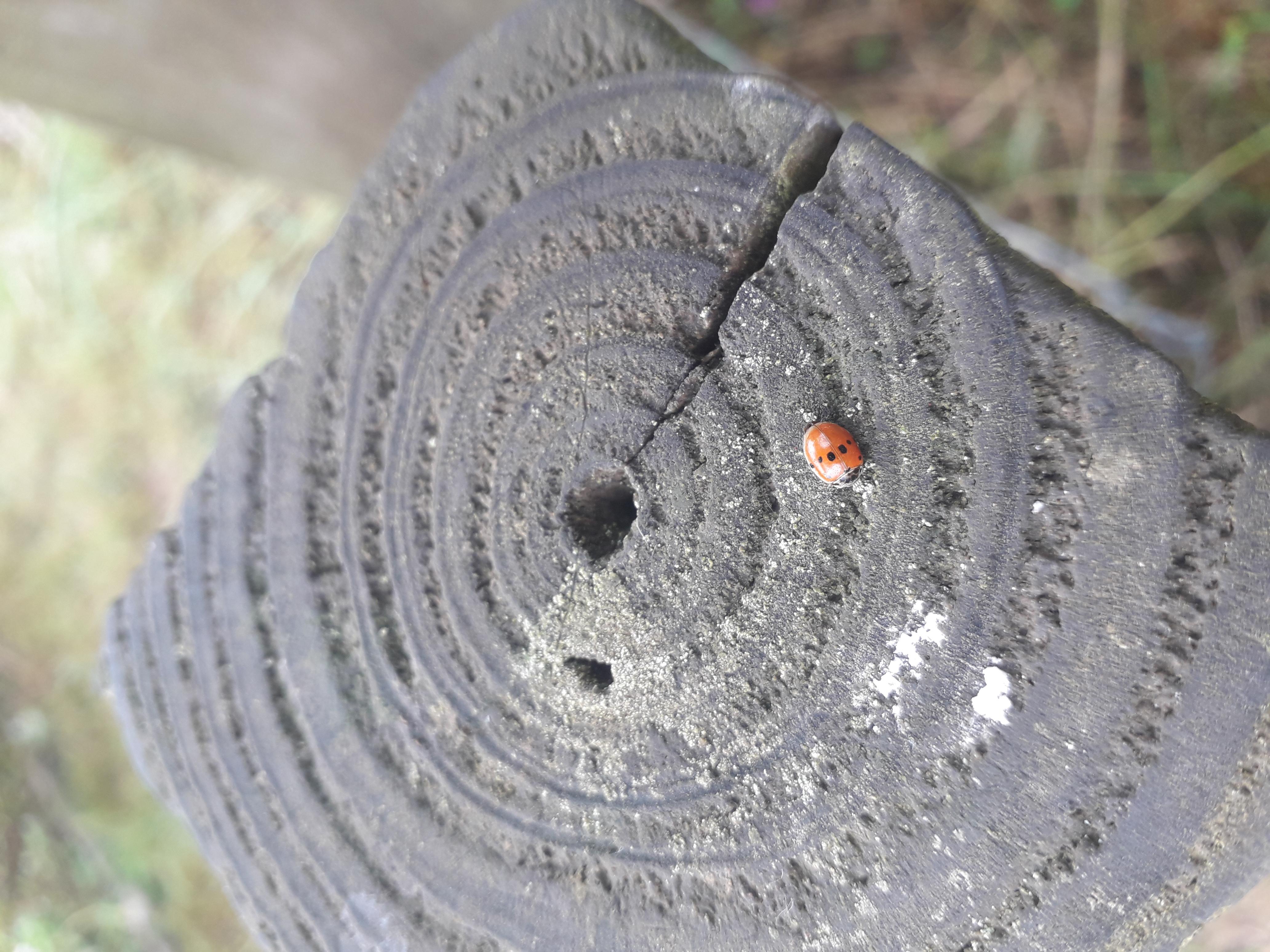 Small Ladybird 1
