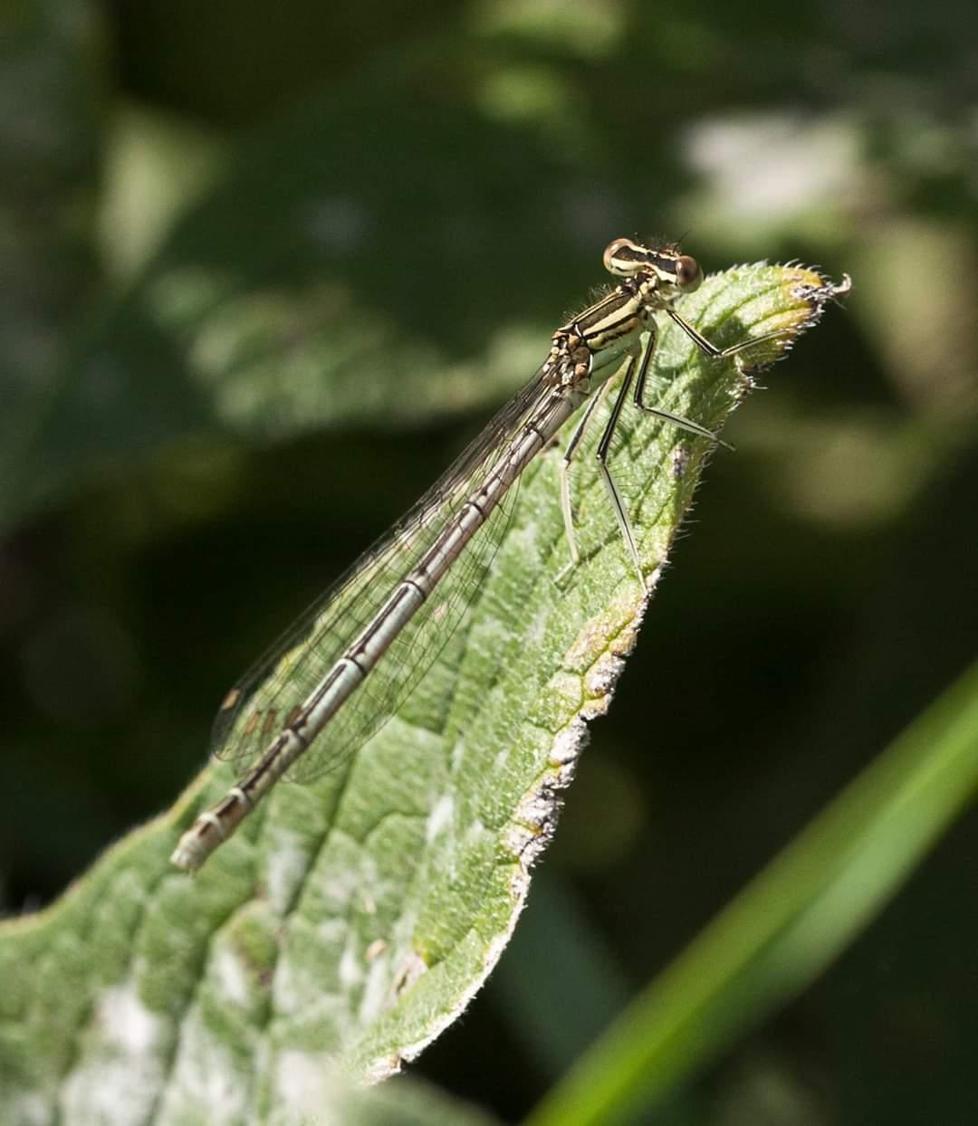 White legged damsel female