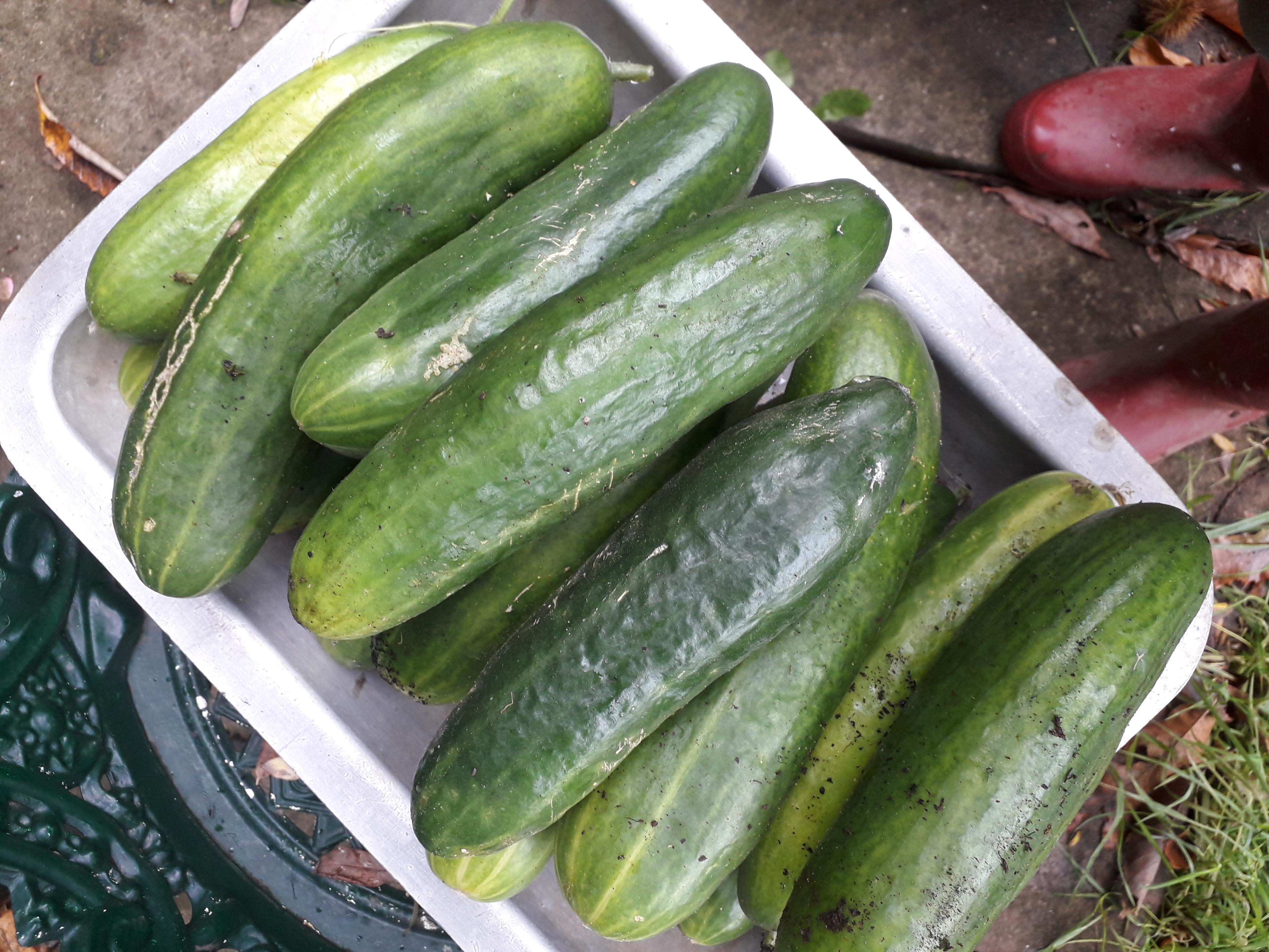 Cucumbers (1)