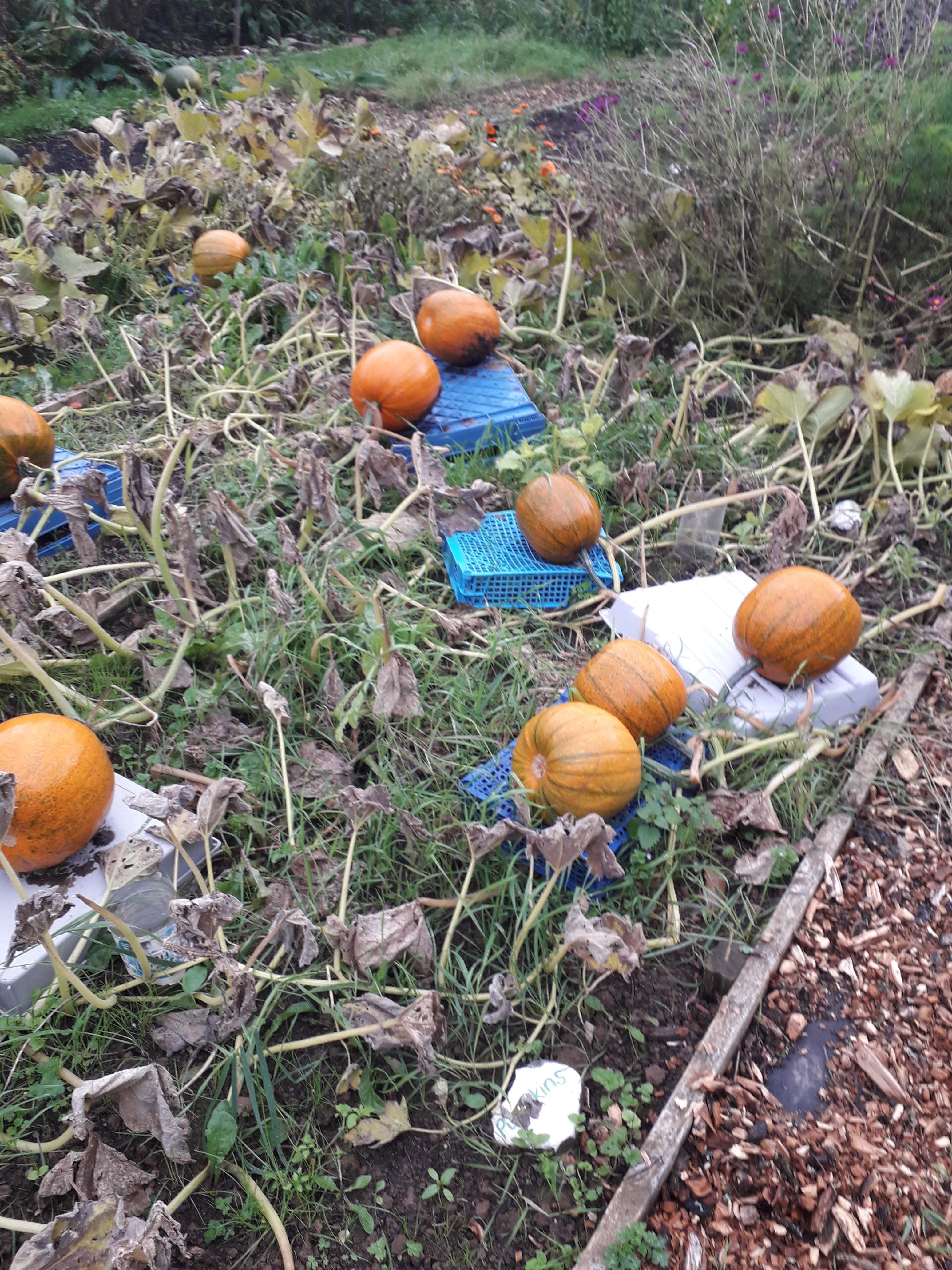 Pumpkins Growing (2)